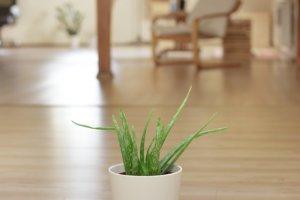 aloe-vera-heilpflanze